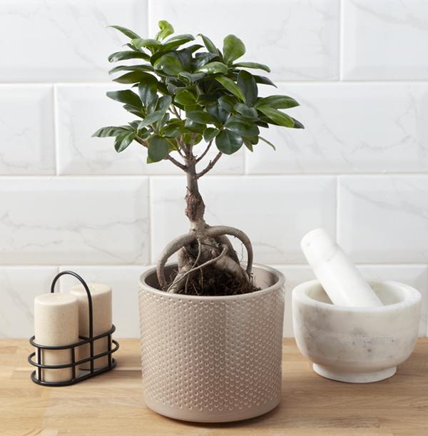 Bonsai Tree - £37.99