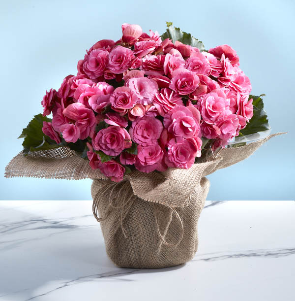 Z DISC 12/19 The Pink Begonia Plant - £25.99
