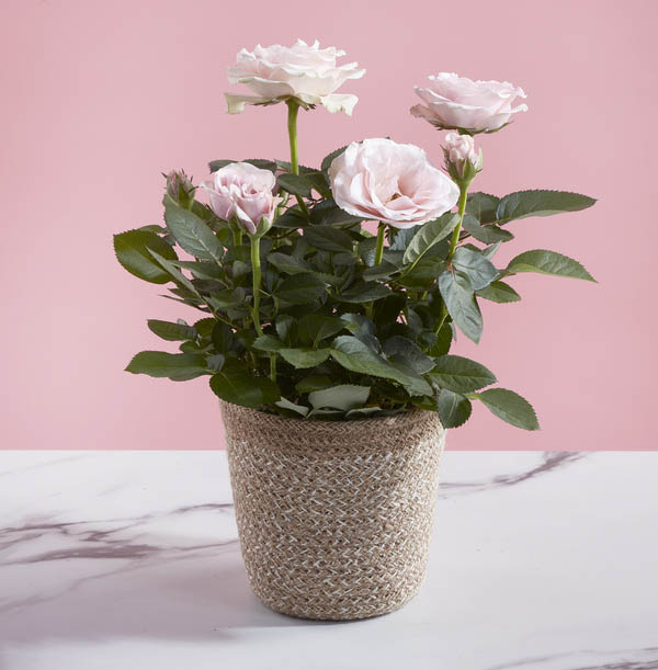 Z DISC 02/20 The Pink Letterbox Rose Plant - £23.99